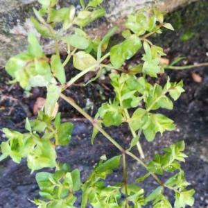 Photographie n°2254595 du taxon Euphorbia peplus L. [1753]