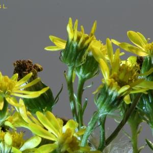 Photographie n°2254619 du taxon Jacobaea erucifolia (L.) G.Gaertn., B.Mey. & Scherb. [1801]
