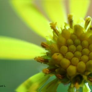 Photographie n°2254621 du taxon Jacobaea erucifolia (L.) G.Gaertn., B.Mey. & Scherb. [1801]