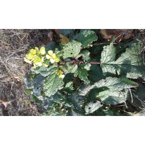 Sinapis arvensis L. subsp. arvensis (Moutarde des champs)