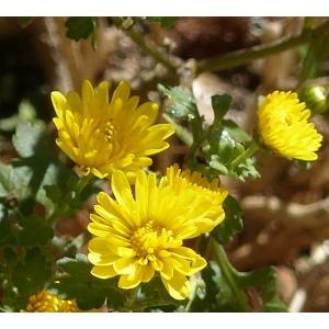 Chrysanthemum x grandiflorum Ramat. (Chrysanthème)