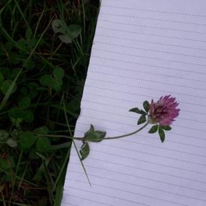 Photographie n°2255134 du taxon Trifolium pratense L. [1753]