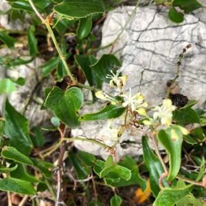 Photographie n°2255414 du taxon Smilax aspera L. [1753]