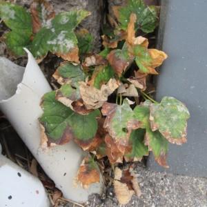 Photographie n°2255522 du taxon Acer pseudoplatanus L.