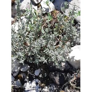 Artemisia caerulescens L. (Armoise bleuissante)