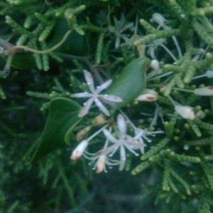Photographie n°2256571 du taxon Smilax aspera L. [1753]