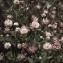 Liliane Roubaudi - Trifolium hybridum L. [1753]