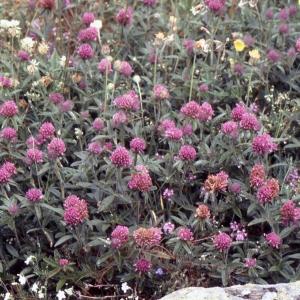 Photographie n°2256834 du taxon Trifolium pratense L. [1753]