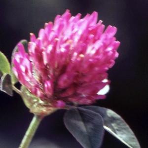 Photographie n°2256835 du taxon Trifolium pratense L. [1753]