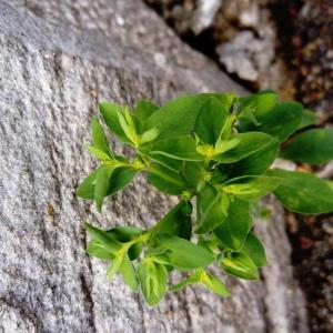 Photographie n°2257054 du taxon Euphorbia peplus L. [1753]
