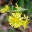 Youngia japonica(L.)DC. [nn0] par cotela le 17/10/2018