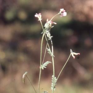 Photographie n°2257151 du taxon Ornithopus perpusillus L. [1753]
