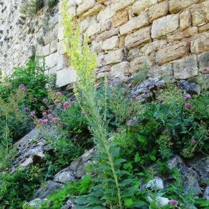 Photographie n°2257393 du taxon Verbascum pulverulentum Vill.