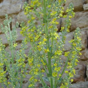 Photographie n°2257394 du taxon Verbascum pulverulentum Vill.