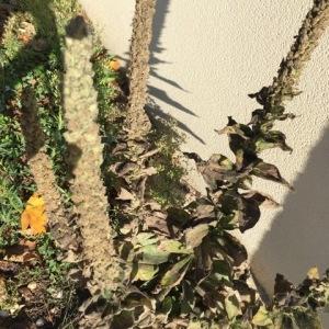Photographie n°2257399 du taxon Verbascum thapsus L.