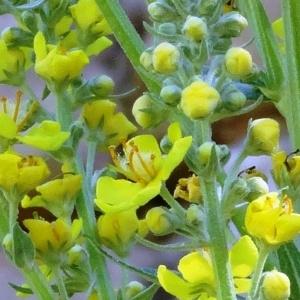 Photographie n°2257400 du taxon Verbascum pulverulentum Vill.
