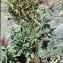 Liliane Roubaudi - Trifolium rubens L. [1753]