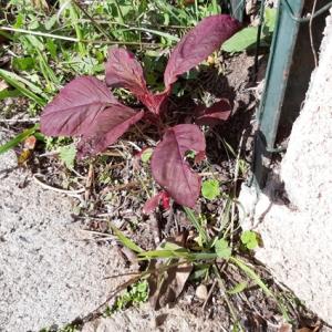 Photographie n°2257804 du taxon Polygonaceae