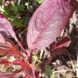 Photographie n°2257806 du taxon Polygonaceae