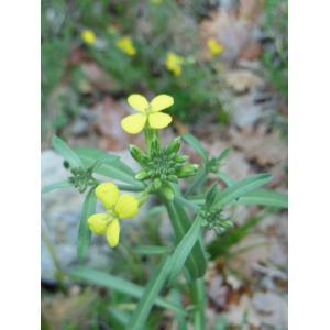 Erysimum nevadense Reut. subsp. nevadense