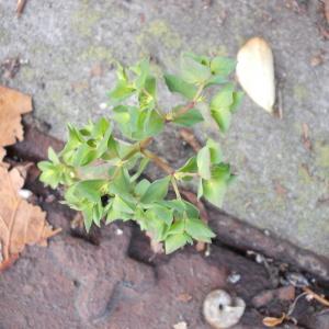 Photographie n°2257953 du taxon Euphorbia peplus L. [1753]