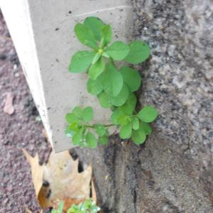Photographie n°2257954 du taxon Euphorbia peplus L. [1753]