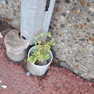 Photographie n°2257955 du taxon Euphorbia peplus L. [1753]