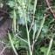 Christophe LABIOUSE - Diplotaxis tenuifolia (L.) DC. [1821]