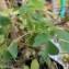 Oxalis corniculata L. [nn1527] par aude Revalor le 12/11/2018