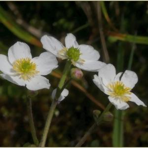 Photographie n°2258194 du taxon Ranunculus aconitifolius L. [1753]