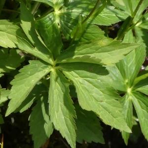 Photographie n°2258197 du taxon Ranunculus aconitifolius L. [1753]