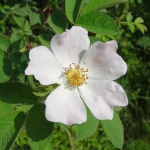 Photographie n°2258225 du taxon Rosa canina L. [1753]