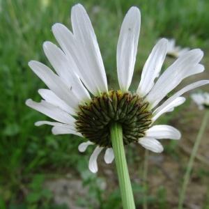 Photographie n°2258277 du taxon Leucanthemum vulgare Lam. [1779]