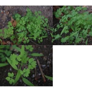 Photographie n°2258462 du taxon Fumaria L.