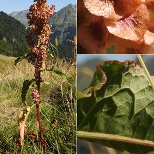Photographie n°2258491 du taxon Rumex longifolius DC.