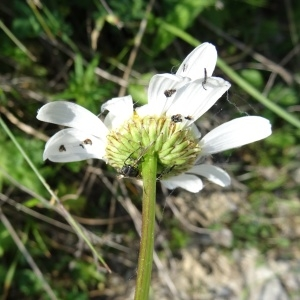Photographie n°2258500 du taxon Leucanthemum vulgare Lam. [1779]