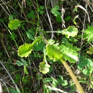 Photographie n°2258501 du taxon Leucanthemum vulgare Lam. [1779]
