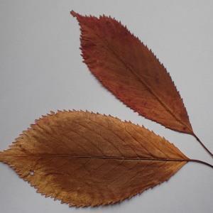 Photographie n°2258550 du taxon Prunus avium (L.) L. [1755]