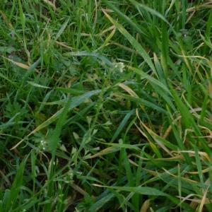 Photographie n°2258608 du taxon Capsella bursa-pastoris subsp. bursa-pastoris