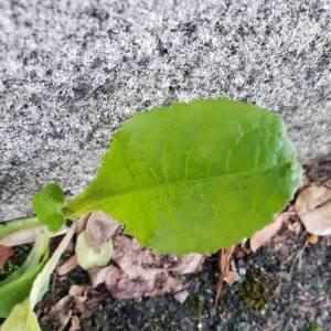 Photographie n°2258683 du taxon Bellis perennis L.