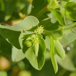 Photographie n°2258699 du taxon Euphorbia peplus L. [1753]