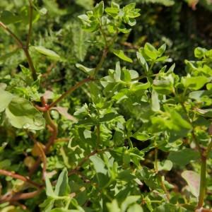 Photographie n°2258700 du taxon Euphorbia peplus L. [1753]
