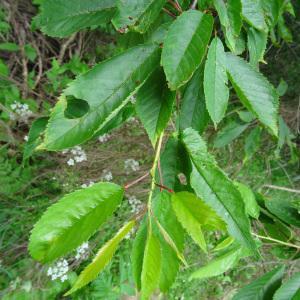 Photographie n°2258729 du taxon Prunus avium (L.) L. [1755]