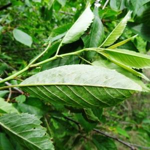 Photographie n°2258730 du taxon Prunus avium (L.) L. [1755]