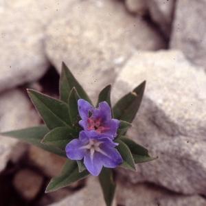Buglossoides gastonii (Benth.) I.M.Johnst. (Grémil de Gaston)