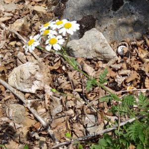 Photographie n°2258909 du taxon Tanacetum corymbosum (L.) Sch.Bip. [1844]