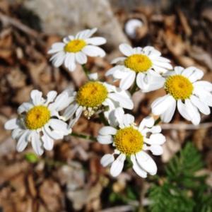Photographie n°2258911 du taxon Tanacetum corymbosum (L.) Sch.Bip. [1844]