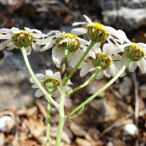 Photographie n°2258912 du taxon Tanacetum corymbosum (L.) Sch.Bip. [1844]