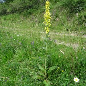 Photographie n°2259170 du taxon Verbascum thapsus L.