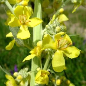 Photographie n°2259174 du taxon Verbascum thapsus L.